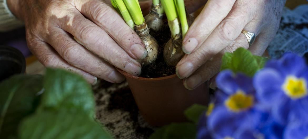 A resident plants some bulbs in a flower pot.