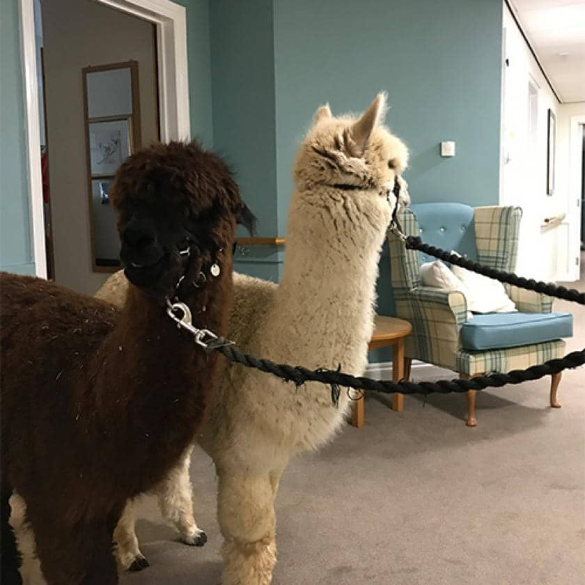 Alpacas at Wantage care home